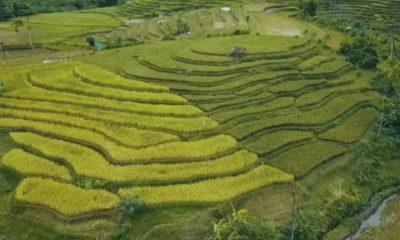 Panorama persawahan terasering yang berada di Desa Kalisemut, Kecamatan Padang, Lumajang.